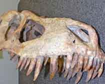 ICE and Manhattan U.S. Attorney's Office return Tyrannosaurus Bataar skeleton to Mongolia