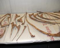 HSI takes custody of Tyrannosaurus dinosaur skeleton looted from Mongolia