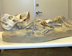Micro Raptor Fossil Skeleton