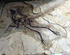 Anchiornis Fossil