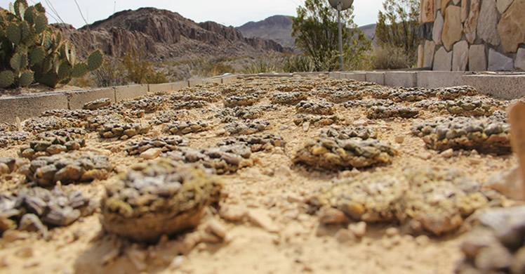 West Texas man pleads guilty to role in scheme to sell protected cacti