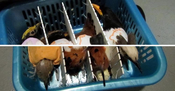 Orange County man arrested for attempting to smuggle dozens of Asian songbirds into US from Vietnam